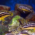 Julidochromis Ornatos