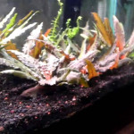 Cryptocoryne Wendtii 'Red'