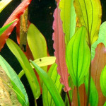 Echinodorus 'Red Diamond'